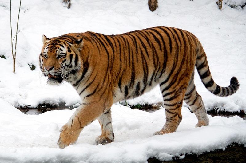 Tigre Siberiana Peso Medio