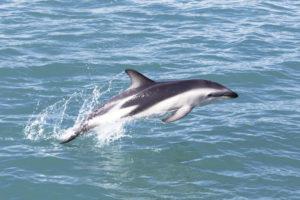 Delfín de Héctor