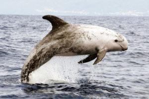 Delfín de Risso