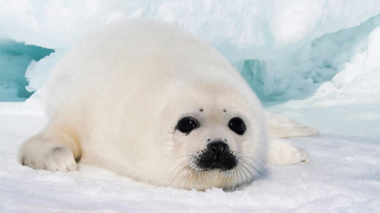 Foca Arpa (Foca deGroenlandia - Pía), peculiar y adorable Animal Exótico