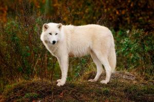 Lobo de Baffin