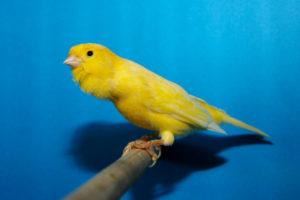 Canario Roller Harzer
