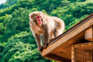 Macaco Japonés